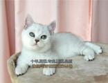 寵物小貓咪純種英國短毛貓英短藍貓立耳折耳活體幼貓幼