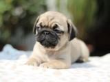 出售纯种漂亮的巴哥幼犬宝宝 肉肉嘴巴可爱到爆