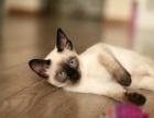 可爱暹罗猫只剩2只