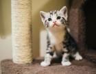 哈尔滨 哪里有卖美短猫 多少钱