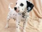 狗场里的斑点狗能不能养活 价格贵不贵