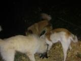 配种了25天的狐狸犬