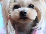 陵水純種德國牧羊犬 泰迪幼犬出售 多種顏色可選