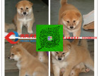 出售日系柴犬幼犬 保纯种 保健康 可送货 可签协议