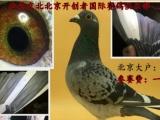 出售信鸽 成绩鸽 公棚鸽 名家鸽 血统鸽 观赏鸽天落鸽网鸽