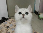 猫舍出售纯血统高质量英国短毛猫渐层小猫弟弟妹妹都