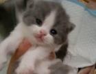家养纯种英短蓝白猫咪出售