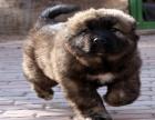 cku注册五星级犬舍 双血统高加索可上门挑选