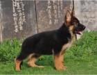 极品德国牧羊犬出售 精心繁育品质优良 签保障协议