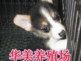 佛山柯基犬专卖 佛山正规狗场繁殖纯种健康宠物狗