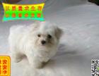 哪里卖纯种马尔济斯犬的 纯种马尔济斯犬多少钱
