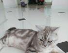美国短毛猫,蝴蝶斑 800