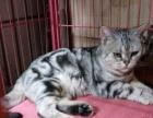 虎斑猫母,特级品相大头绿眼