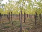 鹤壁50公分国槐树种植基地在哪