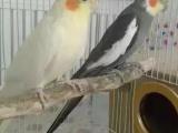 鹦鹉-玄凤-小太阳