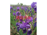兰州紫叶矮樱批发 想买品种好的苗木上哪