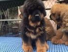 苏州出售2 4个月幼犬(藏獒)疫苗齐签协议