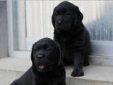自家大狗繁殖的一窝拉布拉多幼犬 品相极佳 已打疫苗