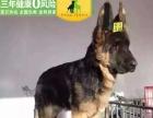 长期出售高品质 纯种健康德国牧羊犬,