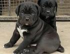 福州哪有卡斯罗犬卖 福州卡斯罗犬价格 福州卡斯罗犬多少钱