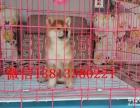 济南哪里有柴犬出售 纯种健康的柴犬哪里有多少钱