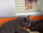 《猫老爹》 出售家养繁殖 蓝猫 蓝白等各种幼猫