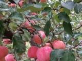 天星苹果采摘园