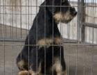 出售德国猎梗犬