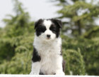 自家大狗生的一窝边境牧羊犬可以来家里看大狗品相