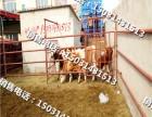 小肉牛犊小犊牛牛苗小牛崽肉牛价格行情