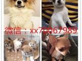 东莞门店自提出售世界各类名犬 支持上门看狗加微信有折扣