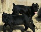 卡斯罗价格 卡斯罗图片 卡斯罗幼犬多少钱一只