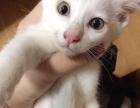 2个月白猫,女孩子
