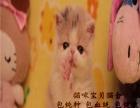 上海波斯猫 长毛波斯猫 白波斯猫 黄波斯蓝眼睛(包纯种健康)