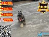 老头犬 爱玩 活泼雪纳瑞幼犬赛级雪纳瑞