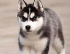 CKU认证犬舍 哈士奇犬 保障健康 终生售后