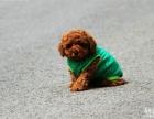 养泰迪犬 选正规养殖场 玩具型 迷你型 可见狗父母