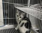 美短 虎斑猫 美国短毛猫