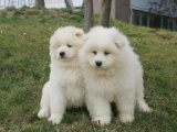 东莞松山湖出售宠物狗,萨摩耶幼犬狗狗出售,包纯种,包健康