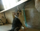出售自家繁殖的美短猫咪,无病无癣,胖胖的