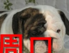 周口本地狗场斗牛犬销售,本地狗场几十个品种