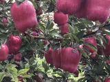 天水花牛苹果自产自销