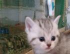 美短英蓝猫场常年出售包子脸铜眼小蓝猫绿眼银虎斑