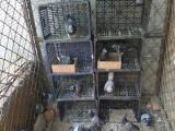 低价处理种鸽成绩鸽工棚信鸽