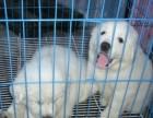 上海哪里有大白熊犬卖 泰迪金毛哈士奇秋田博美阿拉多少钱价格
