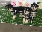 重庆本地犬舍直销纯种 阿拉斯加犬 包健康签协议送货上门