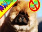 买纯种美系松狮犬/签协议-保健康-可看父母可送货