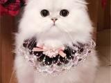 中山出售布偶 布偶猫温顺黏人 包纯种健康