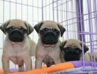 福州高品质巴哥犬签协议包健康 纯种 疫苗齐全有保障