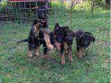 东莞凤岗出售宠物狗,德牧幼犬狗狗出售,包纯种,包健康